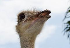 AVESTRUZ (Karla Vlez) Tags: avestruz mirada