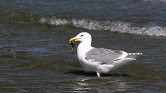 Green Eel? (Sandra_Gilchrist) Tags: fish green bird bc britishcolumbia gull tide low eel winged parksville avian saltwater glaucouswingedgull nanoosebay glaucous rathtrevorprovincialpark sandragilchrist