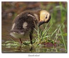Canard Colvert / Mallard 153A9296 (salmo52) Tags: birds danville mallard anasplatyrhynchos oiseaux anatidae anatidés canardcolvert étangburbank salmo52 alaincharette