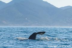 JLN_7419-3 (Jrhum) Tags: sea mer canon de french eos riviera cannes mark des ii 7d l whales cote mandelieu srie ef 100400mm azur croix markii iles dazur mditerrane baleine mediteranean cetaceans cetacean gardes baleines 100400 lrins ef100400mm ctac cachalot ctacs 7dmarkii cachalos