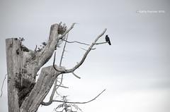 Crystal Cove Tree Crow 2900 (kathypaynter.com) Tags: trees tree dead crystalcove vancouverisland deadtree tofino crow snags beau deadtrees beautifulbc crowinatree crystalcoveresort vancouverislandscenery crystalcovetofino crystalcoveresorttofino