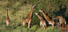 Masai giraffe (Giraffa camelopardalis tippelskirchi) (DragonSpeed) Tags: africa tanzania mammal safari giraffacamelopardalistippelskirchi tarangirenationalpark masaigiraffe maasaigiraffe kilimanjarogiraffe africanwildcatsexpeditions tzday01