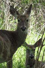 IMG_3960 (rachelaughs) Tags: deer whitetailed whitetaileddeer mendonponds mendonpondspark