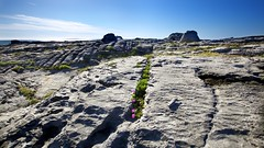 Flora in the Cracks - The Burren (Michael Foley Photography) Tags: county ireland clare burren countyclare