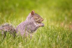 Say Grace (static_dynamic) Tags: light summer food green nature grass animal garden nikon squirrel outdoor live pray sigma grace graysquirrel