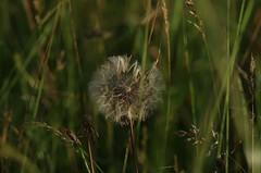 Another dandelion (horschte68) Tags: dandelion green bokeh dof depthoffield nature tair11a135mm28 m42