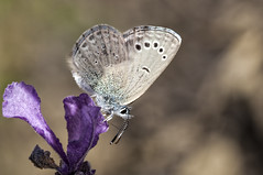 Glaucopsyche melanops (Jaume Bobet) Tags: macro canon sigma mariposa bobet insecto lycaenidae melanops glaucopsyche leppidoptera