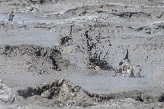The newer mud pots / mud volcanoes at the Salton Sea (slworking2) Tags: california us unitedstates desert geology geothermal saltonsea mudvolcano calipatria mudpot