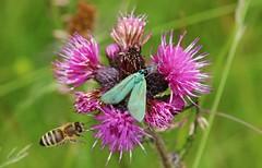 Bee + Moth (Hugo von Schreck) Tags: macro insect outdoor moth bee makro insekt biene motte greatphotographers buzznbugz adcitastatices tamron28300mmf3563divcpzda010 canoneos5dsr hugovonschreck