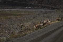 DSC_0623 (David.Sankey) Tags: denali denalinationalpark alaska park parks nationalparks nature wildlife mountains trees caribou reindeer deer mammalsofdenali animals