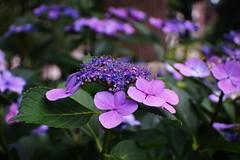 Purple flowers (Xu@EVIL Cameras) Tags: flower berlin 35mm voss f28 exakta piesker