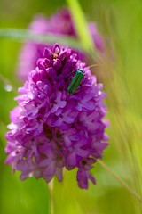 Pyramid Orchid (heathernewman) Tags: uk pink summer england plants plant orchid green nature bug outside outdoor meadow dew wildflowers wiltshire grassland pyramidorchid