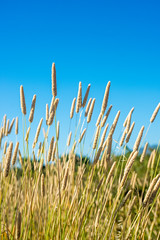 Dry Grass at Scholenberger 32/116 (smile KB) Tags: grass dry 116 32116 scholenberger