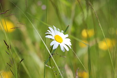 Daisy (Attolrahc) Tags: flowers summer nature canon eos dof bokeh daisy gardenflowers summerflowers summercabin canonef70300mmf456isusm 60d cabinlife canoneos60d