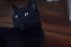 71/365 (ana.sousa129) Tags: cat cute blue color red orange cool wow black beautiful 365 baby floor yellow white pelo animal gato de estimao