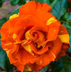 Red yellow rose in the garden of my neighbor :P (musti_west) Tags: flower macro nature rain rose garden bokeh outdoor sony natur alpha blume makro neighbor garten regen bunt 6000 flourish nachbar blhen colerful