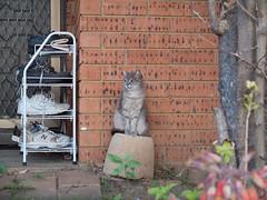 hoodCat (jasontototam) Tags: street west cat sydney western