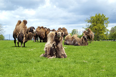 With the Posse! (stebbi84) Tags: travel green beautiful animal animals skyline denmark photography phot camels bactriancamel