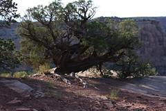 Juniper Tree (Richard Masoner / Cyclelicious) Tags: tree colorado elijah juniper