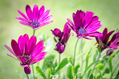 shades of purple and green (Jez22) Tags: flowers summer copyright plant flower color colour green nature floral beautiful beauty closeup season botanical flora colorful pretty purple bright african daisy bloom mauve marguerite africandaisy chrysanthemum blooming osteospermum capedaisy jeremysage