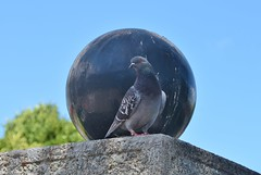 Perfectly positioned posing pigeon (stevelamb007) Tags: california bird nikon pigeon sausalito nikkor18200mm stevelamb d7200