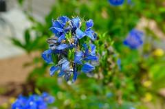 Flowers (arinaegorova) Tags: flower blue green nature
