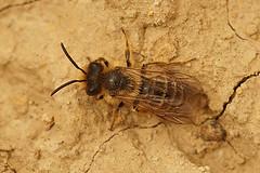 Grasbij - Andrena flavipes, male (henk.wallays) Tags: