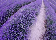 Lavandula line (sussexscorpio) Tags: lavender lines purple pink plants evergreen plant shrub lavandula flower herbaceous perennial mauve violet colour color canon60d canon sussex westsussex lordington fisheye chichester