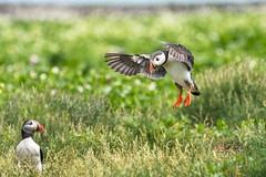 Why are you home with an empty beak? D50_1989.jpg (Mobile Lynn) Tags: nature birds puffin wild bird fauna fratercula wildlife farneislands northumberland england gb coth specanimal ngc npc coth5 sunrays5