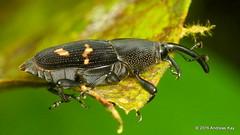 Curculionidae (Ecuador Megadiverso) Tags: andreaskay beetle coleoptera curculionidae ecuador loscedros weevil
