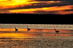 Crpuscule en Acadie - Twilight in Acadia (Ulysse2001) Tags: hron heron greatblueheron ardeaherodias grandhron acadie valcomeau tracadie delta sunset