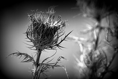 Holga thistle. (Joseph Skompski) Tags: columbiamd columbia maryland centennialpark naturetrail nature blackandwhite bw holga thistle