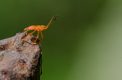 No topo do mundo (mcvmjr1971) Tags: 150mm d7000 nikon niteri riodejaneiro bug colorido insect inseto laranja macro mini minsculo mmoraes ninfa orange pequeno sigma small
