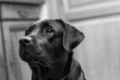 jenka du mas de Bertamieux (Anto 38) Tags: labrador dogs chien races jenka littledog dog masdebertamieux