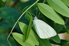 In edlem Wei/ In noble white (deetaah) Tags: schmetterling butterfly weis white grn green bltter leaves