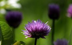 Schoenoprasum (lincerosso) Tags: fiori piante pianteerbacee agli erbacipollina aglioungherese alliumschoenoprasum montagna paludialpine estate colorcremisi bellezza armonia giardinipalustri
