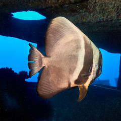 FLA-161001-ND800-8156 (ferlopez) Tags: batfish fish longfinbatfish marinelife plataxteira spadefish underwaterphotography wailea mauihawaii usa