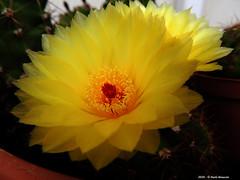 Notocactus Ottonis (Paolo Bonassin) Tags: notocactusottonis cactaceae cactacee cactus succulente flowers