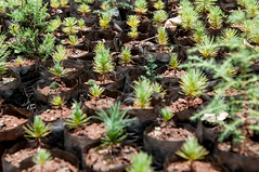 Community seedlings for reforestation efforts Lushoto, Tanzania (CIAT International Center for Tropical Agriculture) Tags: landscapes erosion climatechange degradation soils thinklandscape glfcop20
