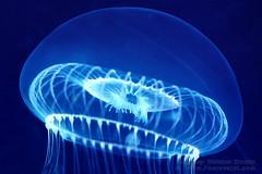 Crystal Jelly, (Aequorea victoria) (Vern Krutein) Tags: water animal jellies jellyfish sealife species carnivorous animalia invertebrate carnivores cnidaria crystaljelly cnidarians conica scyphozoa hydrozoa aequoreavictoria mnemiopsis medusozoa leptomedusae leptolinae aequoreidae aajv01p0912