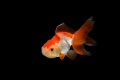 Goldfish (da nokkaew) Tags: white fish black color water monochrome closeup swimming alone goldfish image background side crown ornamental