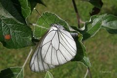 Glogova belinka leže jajčeca na list jablane (natalija2006) Tags: white butterfly eggs aporia crataegi metulj blackveined glogova belinka leže jajčeca