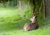 Cerf au Chateau de Moidiere (Pito Charles) Tags: france animal animals deer chateau animaux cerf isere isère moidière moidiere