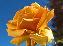 121114_2_edit (plw1053) Tags: blue sky orange colour nature rose petals flora peach photosandcalendar flowersarebeautiful excellentsflowers panoramafotográfico thebestofmimamorsgroups faunayfloradelmundo magicmomentsinyourlife canong15 powershotg15 onlythebestofflickr nature'splus plw1053 paullgwells