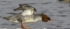 Common Merganser (Bob Gunderson) Tags: california birds northerncalifornia marincounty mergusmerganser northbay commonmerganser mergansers lasgallinas canoneos7dmarkii