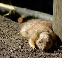 Beetroot O.D. (Jaedde & Sis) Tags: flat fat tired prairiedog overdose beetroot sweep exhausted od prriehund genuscynomys pregamewinner sorybookwinner