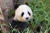 "Bai Yun eating (kent.c) Tags: china usa canon us panda sandiego bamboo sd socal endangered southerncalifornia sandiegozoo balboapark endangeredspecies sdzoo panda"" ""female kentc canon5dmarkiii 5dmarkiii zoohabitat ""bai kentcphotography yun"""