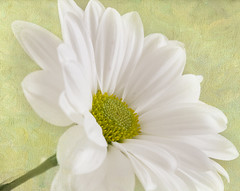 (Seden Bekit) Tags: white flower color green nature beautiful yellow closeup soft textures daisy simple