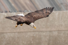 Bald Eagle Dives at Conowingo Dam (Laurie-B) Tags: usa bird animal america us wings md eagle unitedstatesofamerica beak maryland easternshore american raptor northamerica spine backbone freestate talons livingthings haliaeetus northamerican conowingo cecilcounty conowingodam baldeaglehaliaeetusleucocephalus chordataphylum oldlinestate accipitridaefamily avesclass animaliakingdom vertebratasubphylum eukaryotaempire gnathostomatainfraphlum falconiformesorder haliaeetinaesubfamily