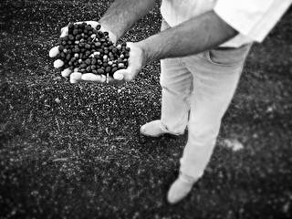 Coffee Harvest / Colheita do Café